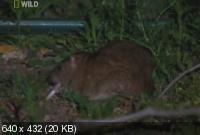Умные Крысы / Rat Genius (2006) SATRip
